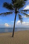 Coconut palm tree on the beach, Pasikudah bay, Eastern Province, Sri Lanka