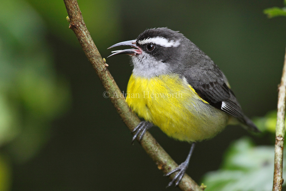 Bananaquit (Coereba flaveola). Monteverde Cloud Forest Preserve, Costa Rica. <br />