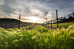 Grasses blowing through the vines at Sbragia Family Vineyards