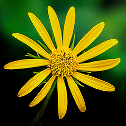 A Bold Yellow Flower Pops From The Garden