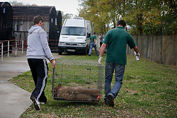 ROMANIA ONESTI 28OCT12 - A Eurasian wolf is rescued from captivity by WSPA and the Zarnesti bear sanctuary staff at the Onesti zoo.  ..The zoo has been shut down due to non-adherence with EU regulations on the welfare of animals.......jre/Photo by Jiri Rezac / WSPA......© Jiri Rezac 2012