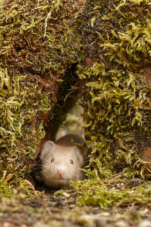 Bank Vole (Clethrionomys glareolus) adult, albino, emerging through gap in wall, South Norfolk, UK. July.