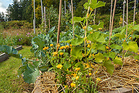 A variety of produce grows in raised beds lined with straw mulch in an organic garden.