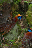 Tragopan temminckii fighting in Tangjiahe Nature Reserve, Sichuan province, China.