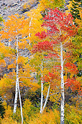 Fall color in Lundy Canyon, Inyo National Forest, Sierra Nevada Mountains, California