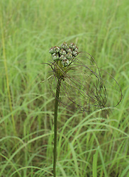 Tacca maculata