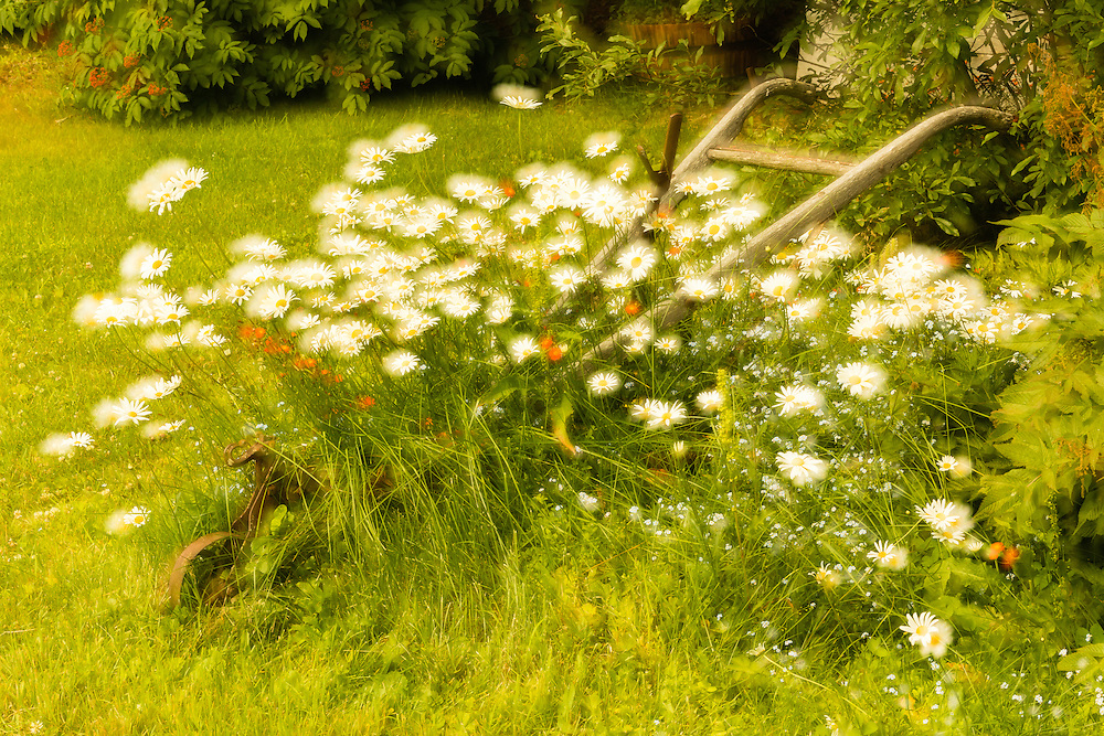 Orton Effect of garden flowers at Crow Creek Mine in Girdwood in Southcentral Alaska. Summer. Morning.