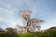 Maruyama Park during the sakura / cherry blossom season, in Kyoto, Japan on Sunday 16th April 2012.