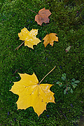 Norway Maple leaves (Acer platanoides) lay scattered upon a bed of moss in Belmont, Massachusetts.