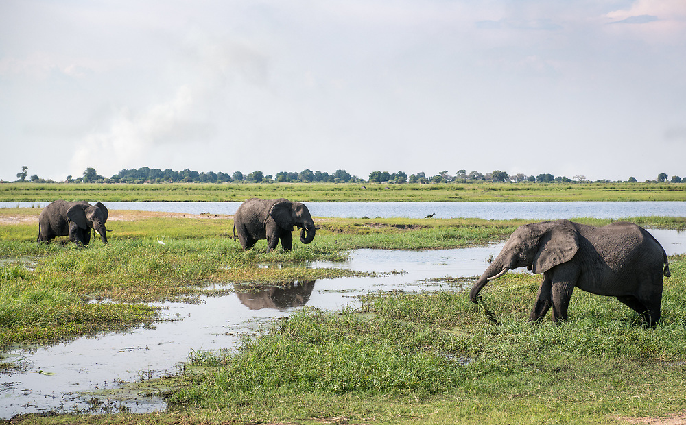 Group of african bush elephants (Loxodonta africana) wade in marshy waters, Chobe National Park - Botswana