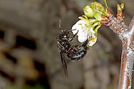 Violet Carpenter Bee - Xylocopa violacea