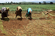 Africa, Tanzania, Lake Eyasi National Park onion farming Woman plant the seedlings