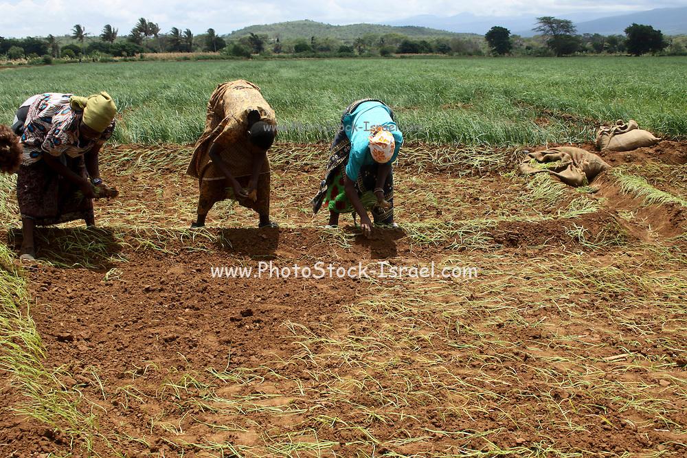 Africa, Tanzania, Lake Eyasi National Park onion farming Woman plant the seedlings