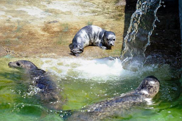 Duitsland, Kleef, 14-6-2012In de dierentuin van deze stad vlak over de grens bij nijmegen is een zeehond geboren.Foto: Flip Franssen/Hollandse Hoogte