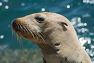 Seals and Sea Lions (Pinnipeds)