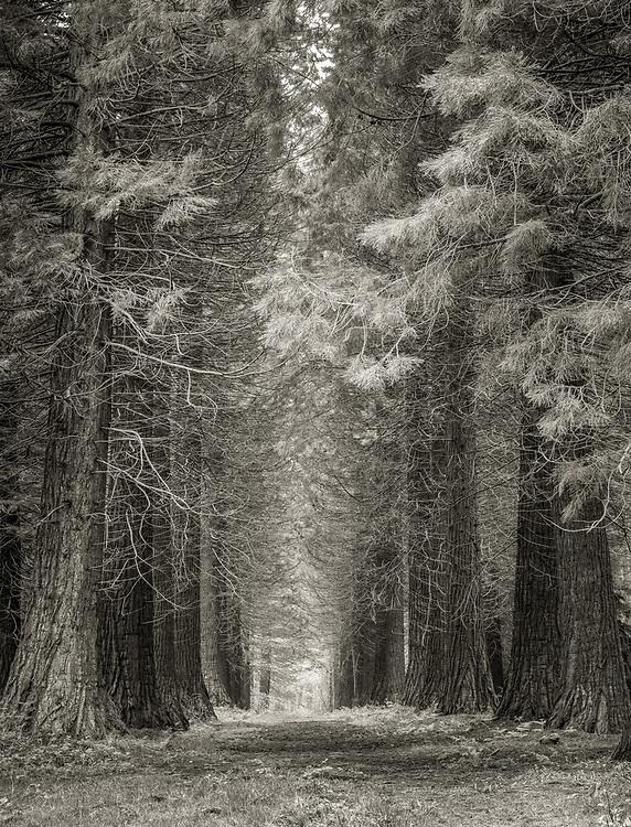 An avenue of pine trees in Hockeridge Wood, between Berkhamsted, Hertfordshire and Chesham Buckinghamshire.