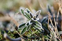 Hoarfrost on garden thyme, Bar Harbor, Maine.
