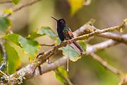 Black-bellied hummingbird; Eupherusa nigriventris; Costa Rica; La Paz Waterfall Garden