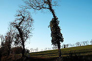 Paysage du Lot en hiver, France. Arbres en contre jour envahis par le lierre.