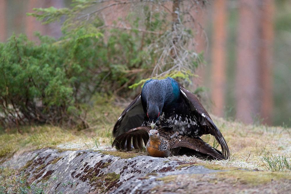 26.04.2009.Capercaillie (Tetrao urogallus) mating. .Bergslagen, Sweden.