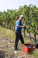 A worker harvesting grapes near Montalcino, Tuscany, Italy