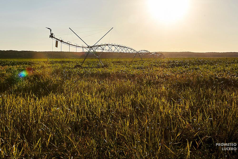 Campesinos menonitas modificaron la estructura del terreno mediante drenes (canales) y pozos. A través de ellos el agua se concentra en maquinaria de riego de cultivos transgénicos. (Prometeo Lucero)