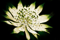 A white Astrantia Major (commonly known as a Masterwort) at the peak of its summer bloom.