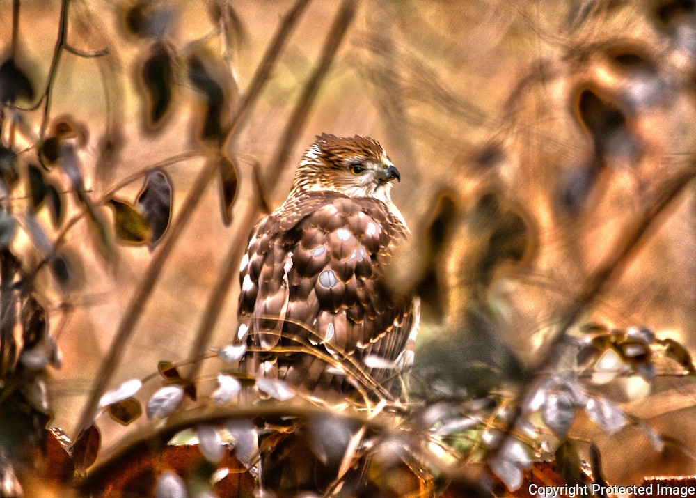 Coopers Hawk perched on a wooden fence in brush