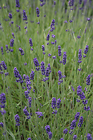 Lavender flowers growing in a field