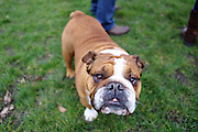 English Bulldogs at a meet-up in London's Kensington Gardens, a monthly occurrence
