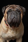 Bullmastiff portrait in the studio by Fred Levy