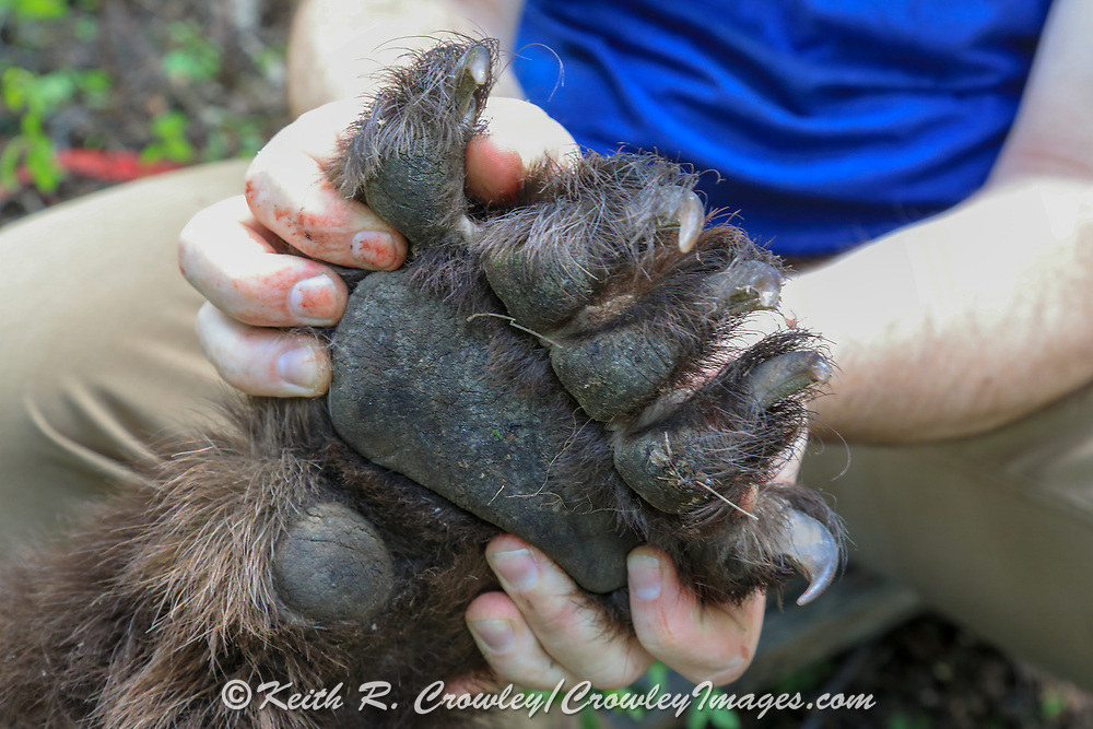 Front paw of Keith Crowley's chocolate phase boar, tagged while hunting with hounds in Idaho.