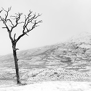An indigenous Scots pine skeleton from Glen Falloch, one of the remnants of Caledonian forest once widespread in Scotland