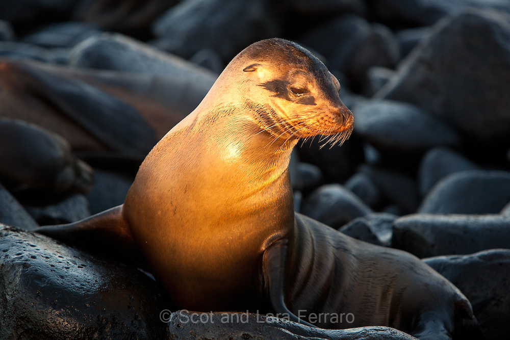 Early morning light highlighting this Sea Lion pup.
