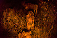 A pride of female lions on the move at night, Kwando Concession, Linyanti, Botswana.