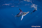 photographer Brandon Cole takes a picture of a striped marlin, Kajikia audax (formerly Tetrapturus audax ), feeding on baitball of sardines or pilchards, Sardinops sagax, off Baja California, Mexico ( Eastern Pacific Ocean ); MR 399