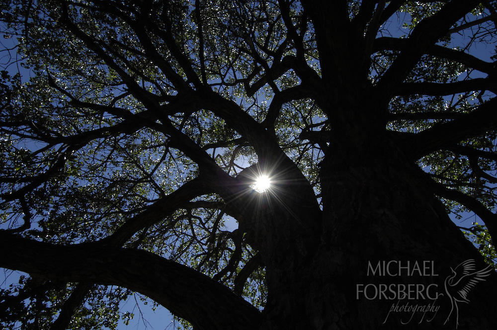 "High Plains, shortgrass prairie region - Front Range, CO..Chico Basin Ranch, Duke Phillips leasee, on Colorado School Board land...Sun star through huge, 100 plus year old  cottonwood tree, long called the ""Council Tree"" by the Phillips ranch family, and likely long before that."