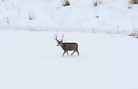 December 2016 northern Utah a lone Mule Deer buck crossing a snow covered field.