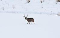 December 2016 northern Utah a lone Mule Deer buck crossing a snow covered field.