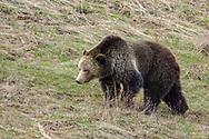 Grizzly bear in habitat