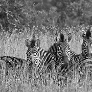Bound together in order to see in all directions at once, this zebra group is keeping safety in numbers