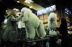 Standard poodles being prepared at Crufts 2002, Birmingham, England, UK.