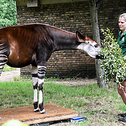 Okapi Annual weigh in at ZSL London Zoo on 23 August 2018, London, UK.