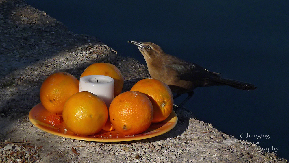 A female Great-Tailed Grackle perches on a plate of oranges left on the ground of a public park near a pond.  At a casual glance, she might appear to have been pecking at the fruit, but she has caught for her meal a fly that had been attracted by the abandoned picnic.