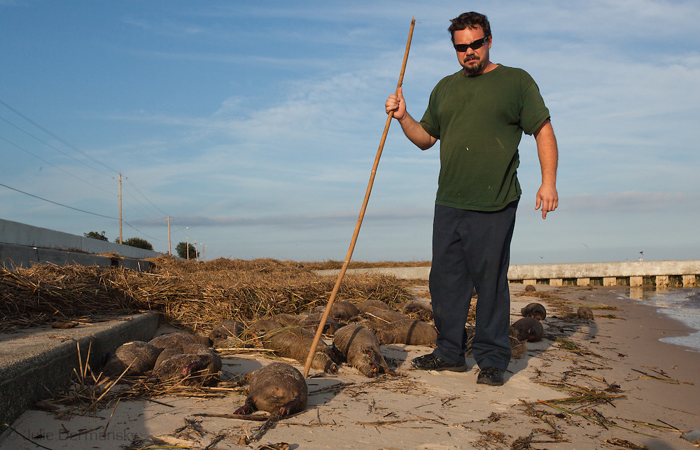 September 1, 2012, Waveland, MS, thousands of dead nutria on the beach following Hurricane Isaac. Nutria, large semi-aquatic rodents have the potential to cause health and environmental hazards. Hancock County officials closed the beaches and are trying to get FEMA money to pay for the clean-up.