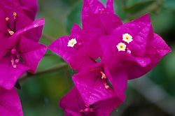 Bougainvillea (Bougainvillea spp.), Allerton Garden, National Tropical Botanical Garden, Kauai, Hawaii, US