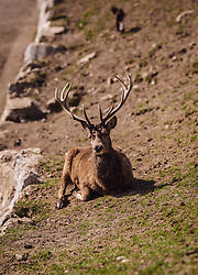 THEMENBILD - ein Rotwildhirsch liegt auf einer Wiese, aufgenommen am 07. März 2019 in Aurach, Oesterreich // a deer lies in a meadow, Austria on 2019/03/07. EXPA Pictures © 2019, PhotoCredit: EXPA/Stefanie Oberhauser
