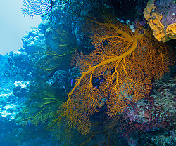 A Gorgonian fan coral in a cave on Mermaid Reef at the Rowley Shoals.  Gorgonians are found in a variety of colours on the reef.