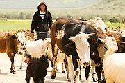 Israel, West Bank, Samaria, Dotan Valley, a herd of livestock coming back from pasture