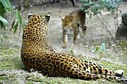 Nederland, Arnhem, 9-4-2013Panters in het dierenpark, dierentuin Burgers Zoo.Foto: Flip Franssen/Hollandse Hoogte